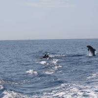 DelfiniTursiopenelGolfodiNapoli