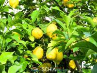Limoni di Ischia