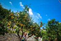 Limoni di Ischia -1093